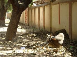 Pinenő tehénke a benáreszi hindu egyetem kampuszán